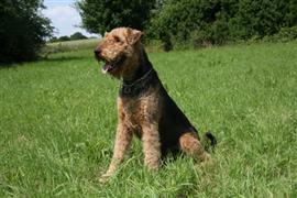 Airedale Terrier sitting on the grass