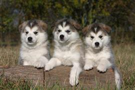 Cute Alaskan Malamute puppies peeking over a log