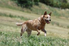 Australian Cattle Dog running in a field