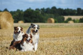 Australian Shepherds in a wheat field