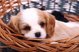 Awesome dog lays in a basket