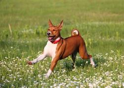 Basenji running in a field