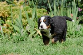 Bernese Mountain Dog puppy walking