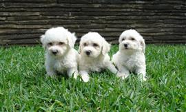 Three Bichon Frise puppies