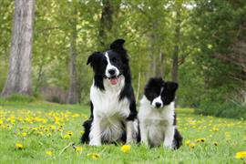 Two black and white border collies