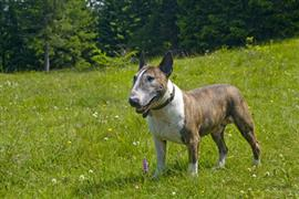 Bull Terrier on the lawn
