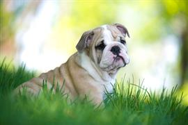 Bulldog laying on the Grass