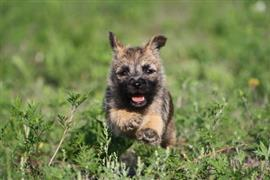 Cairn Terrier in the grass