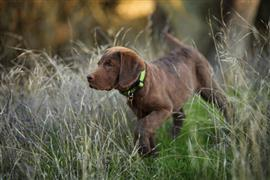 Chesapeake Bay Retriever pup walks in stealth