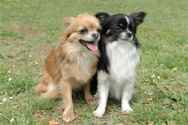 Two Chihuahuas sitting on grass