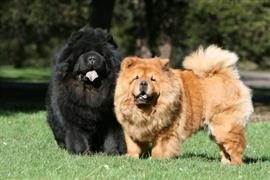 A couple of chow chow dogs