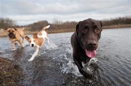 Three dogs cooling down in the lake