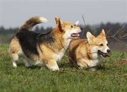 A couple of Corgis in a field