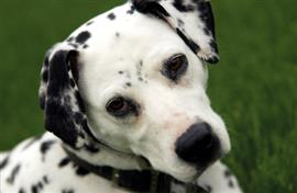 Dalmatian on the grass