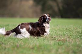 English Springer Spaniel in a field