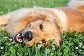 Female Golden Retriever laying on the green grass