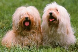 Havanese on the lawn