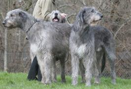 1000  images about Irish Wolfhound on Pinterest | Irish Wolfhounds ...