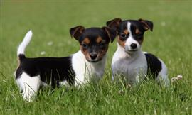 Two Jack Russell Terrier puppies standing in some grass