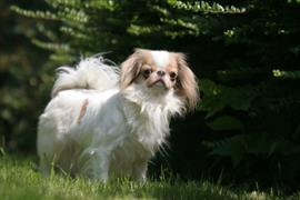 Japanese Chin standing in some grass