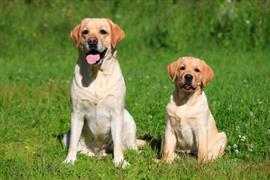 Two Labrador Retrievers sitting on the grass