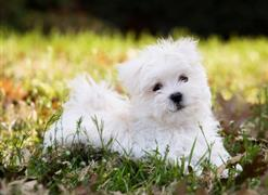 Maltese on the lawn