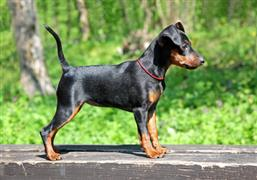 Miniature Pinscher standing outside