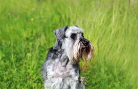 Miniature Schnauzer in a field