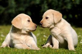 New yellow lab puppies playing