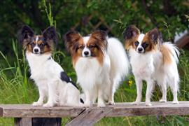 Three Papillons standing outside