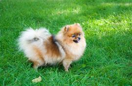Pomeranian poses on the lawn