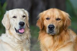 A pair of popular elderly retrievers