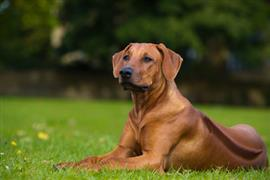 Rhodesian Ridgeback laying on the grass