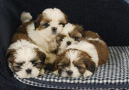 Shih Tzu Names At Dognamedcom