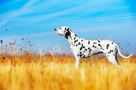 Spotted dalmation in yellow pasture
