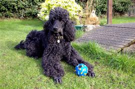 Standard Poodle playing with a ball