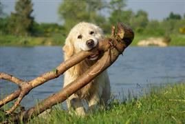Yellow dog carries a branch by the lake